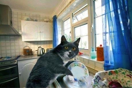 chat qui fait la vaisselle