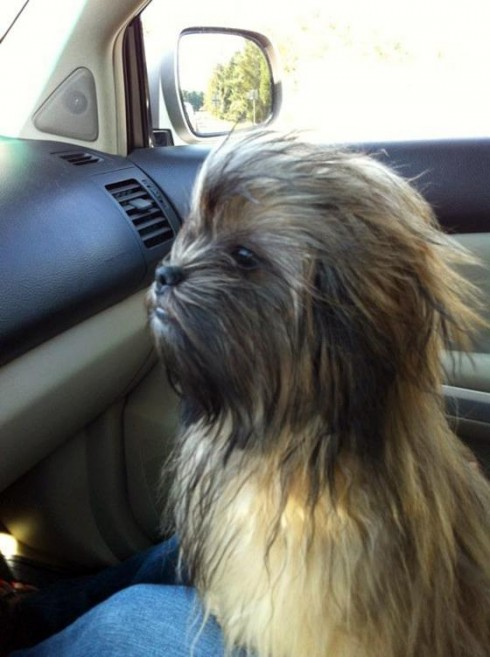 chienbacca, en hommage à Chewbacca