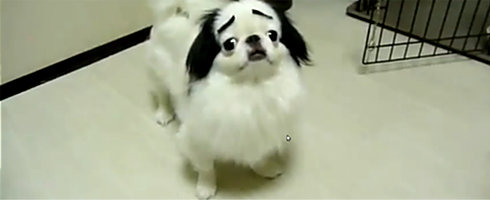 sourcils-dog