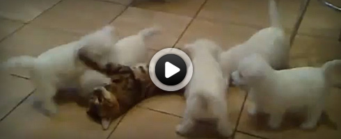 chiens-attaquent-un-chat