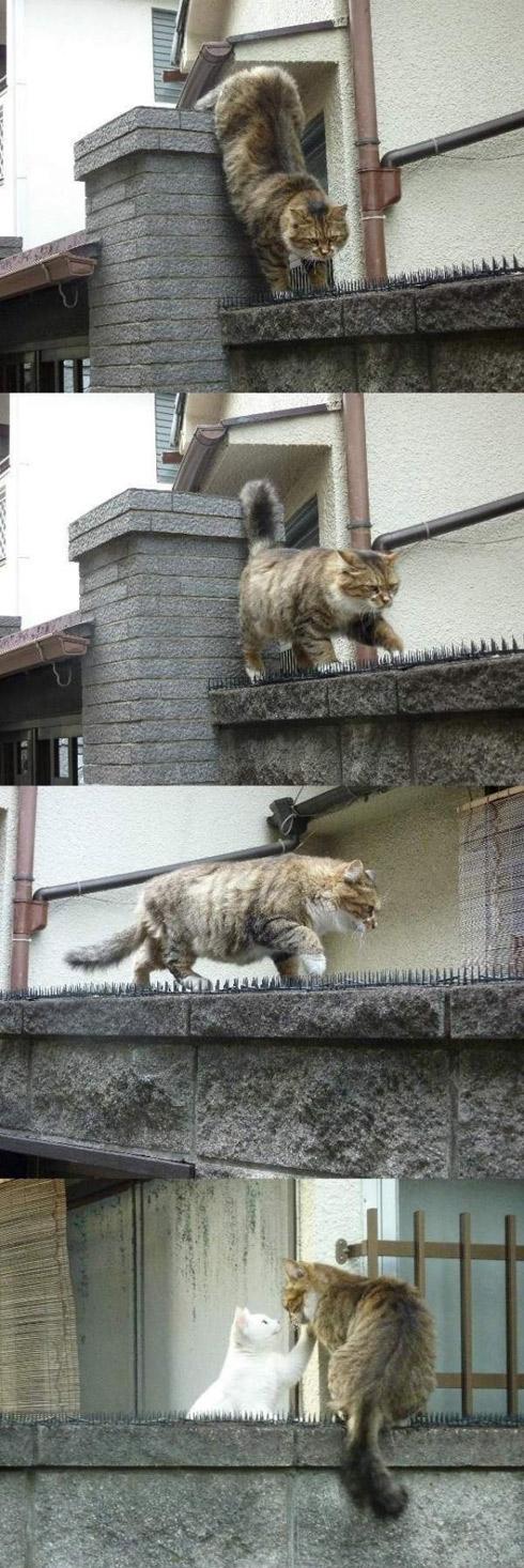 Chat amoureux brave tous les dangers