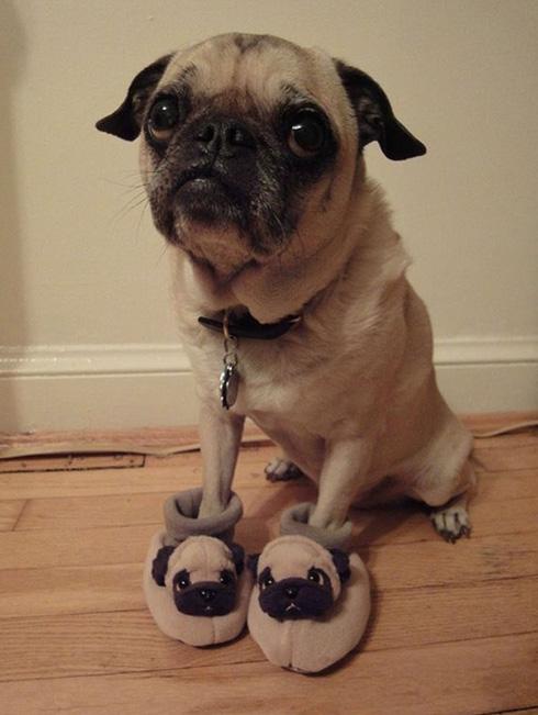 Chien drôle avec ses pantoufles